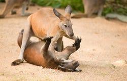 Het vechten kangoeroe Stock Afbeeldingen