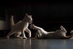 Het vechten kat Stock Afbeeldingen