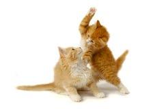 Het vechten katjes Stock Foto