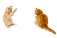 Het vechten katjes Stock Foto's