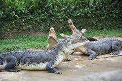 Het vechten krokodillen stock afbeeldingen