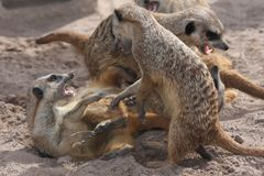 Het vechten Meerkats of Suricates stock fotografie
