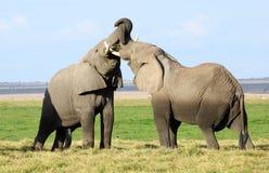Het vechten Olifanten Royalty-vrije Stock Fotografie