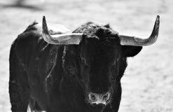 Het vechten stier stock fotografie