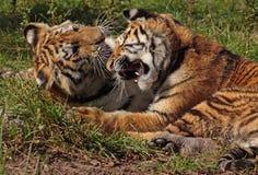 Het vechten tijgerwelpen Royalty-vrije Stock Afbeeldingen