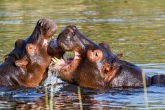 Het vechten twee jong mannelijk nijlpaardnijlpaard Stock Foto's