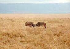 Het vechten van buffels Stock Fotografie