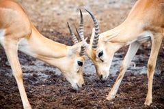 Het Vechten van de antilope Royalty-vrije Stock Foto
