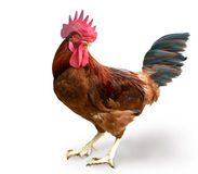 Het Vechten van de kip Landbouwbedrijf stock foto's