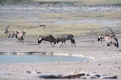 Het vechten van Gemsbok bij waterhole stock afbeelding