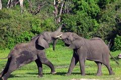 Het vechten van olifanten Royalty-vrije Stock Afbeeldingen
