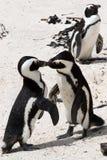 Het vechten van Pinguin Stock Foto's