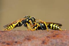 Het vechten van wespen stock afbeeldingen