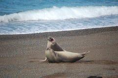 Het vechten van zeeleeuwen Stock Foto's