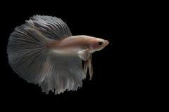 Het vechten Vissen Stock Foto's
