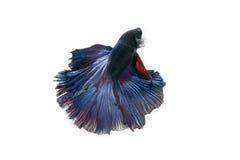 Het vechten Vissen Royalty-vrije Stock Foto