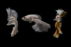 Het vechten Vissen Royalty-vrije Stock Fotografie