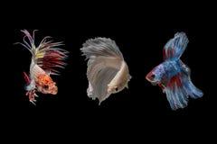 Het vechten Vissen Royalty-vrije Stock Afbeeldingen