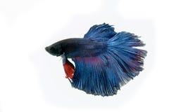 Het vechten Vissen Stock Afbeelding