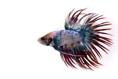 Het vechten Vissen Royalty-vrije Stock Afbeelding