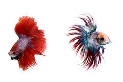 Het vechten Vissen Stock Afbeeldingen