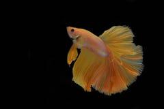 Het vechten Vissen Stock Foto