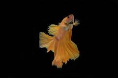Het vechten Vissen Stock Fotografie