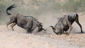 Het vechten Wildebeests ongeveer om hoofden te breken Royalty-vrije Stock Afbeeldingen