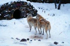 Het vechten wolven Stock Foto's