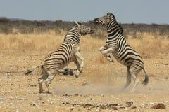 Het vechten zebra Stock Afbeeldingen