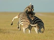 Het vechten Zebras Stock Foto