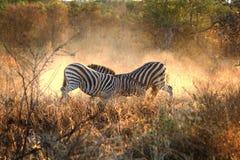 Het vechten Zebras Royalty-vrije Stock Foto's