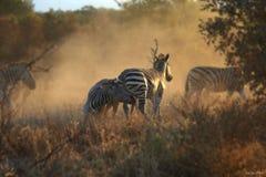 Het vechten Zebras Stock Afbeeldingen