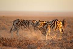 Het vechten Zebras Stock Fotografie