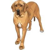 het vector ras van de de hond fawn Grote Deen van de Schets binnenlandse Royalty-vrije Stock Fotografie