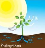 Het vectorbeeld van de fotosynthese Royalty-vrije Stock Foto's