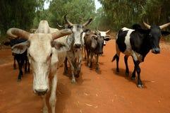 Het vee Stock Foto