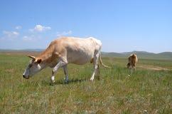 Het vee op de weide Stock Foto