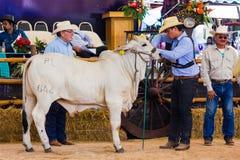 Het vee toont 2012 Royalty-vrije Stock Foto
