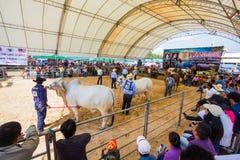 Het vee toont 2012 Stock Foto