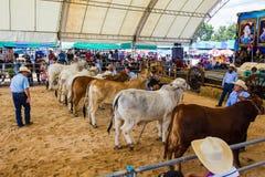 Het vee toont 2012 Stock Fotografie