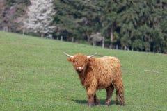 Het vee van de hooglandkoe in Duitsland stock foto
