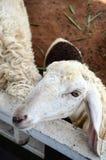Het Vee van de schapenfamilie op een Landbouwbedrijf Royalty-vrije Stock Foto