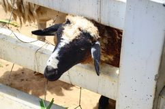 Het Vee van de schapenfamilie op een Landbouwbedrijf Royalty-vrije Stock Afbeeldingen