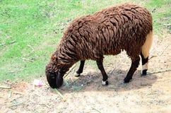Het Vee van de schapenfamilie op een Landbouwbedrijf Stock Foto