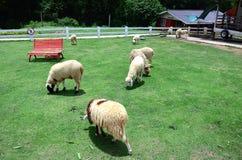 Het Vee van de schapenfamilie op een Landbouwbedrijf Stock Foto's