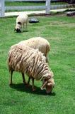 Het Vee van de schapenfamilie op een Landbouwbedrijf Royalty-vrije Stock Afbeelding