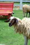 Het Vee van de schapenfamilie op een Landbouwbedrijf Royalty-vrije Stock Fotografie