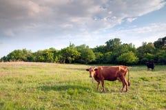 Het vee van de zonsondergang Royalty-vrije Stock Foto