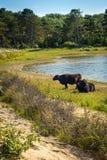 Het vee van Galloway bij een strand stock foto